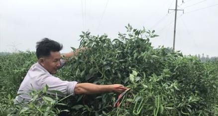 李代能:椒、瓜套种效益高 带领农户奔小康