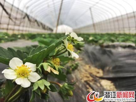寒冬时节草莓红